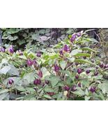 10 Seeds of Filius Blue Hot Pepper - Capsicum annuum - $13.70