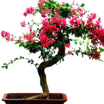 Bonsai Potted Plant Red Flowers Crape Myrtle Tree Bonsai Seeds 20 Seeds/bag - $4.21