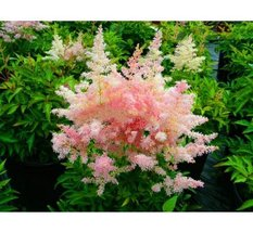 100Pcs White Pink Astilbe Plant Exotic Beautiful Potted Flower Flores Seeds - $8.82