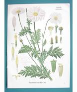 PAINTED DAISY Medicinal Chrysanthemum Roseum - Beautiful COLOR Botanical... - $19.12