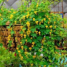SHIP FROM US 40 Canary Creeper Nasturtium Flower Seeds, UTS04 - $35.98