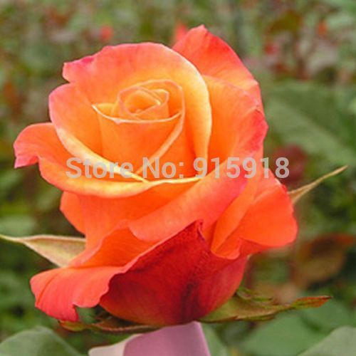 Rose flower seeds RARE(200+) ORANGE ROSE SEEDS / Really Gorgeous