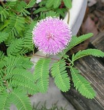 2000 Sensitive plant seeds ~Mimosa pudica~ *Free US Shipping* - $15.60