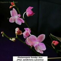 TS90 Phalaenopsis Sunday Java Bare Root T607 - $43.85