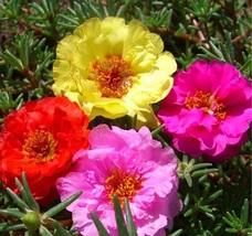 500 Seeds - Moss Rose Double Portulaca Grandiflora - Easy to grow - $9.99