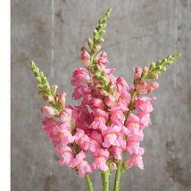 Potomac Pink Snapdragon Seeds Edible Flower Seeds - $8.99