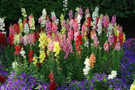 300 Snapdragon Tetra Mix Flower Seeds 2019 (Non-Gmo Free Shipping!) - $5.12