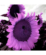 526D 4F8C Purple Sunflower Seeds Helianthus Annuus Seeds Flower Seeds Ga... - $2.50
