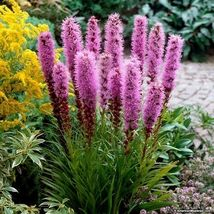 SHIP FROM US 200 Gayfeather Blazing Star Flower Seeds (Liatris Spicata),... - $35.98