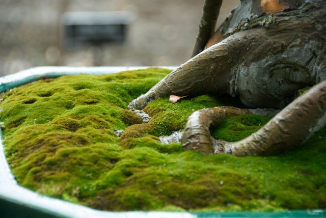 Primary image for Kyoto Moss Spores - Japanese Gardens - For Bonsai Pots