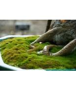Kyoto Moss Spores - Japanese Gardens - For Bonsai Pots - $20.00
