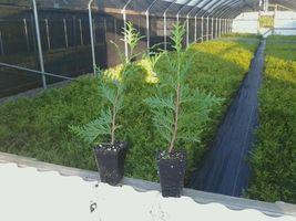 "Green Giant 12-18"" quart pot Arborvitae Thuja plicata  image 6"