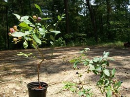 2'-3' Powder Blue Blueberry Plant Fruit Bearing Plants New Healthy Blueberries - $33.90