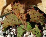 Aloe castilloniae Cactus Cacti Succulent Real Live Plant - €147,05 EUR