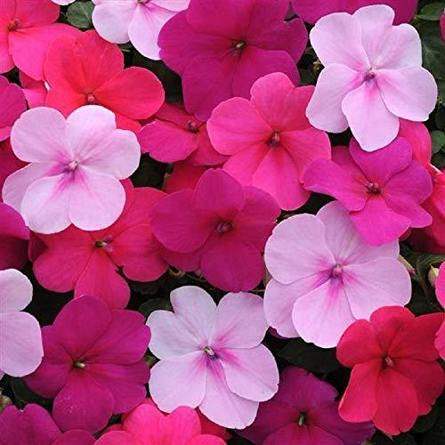 Primary image for Impatiens Seeds Impreza Wedgewood Mix Flower Seeds 150 Seeds Garden Seeds Plant