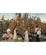 Picking Oranges Farming in Florida 1917 postcard - $6.44