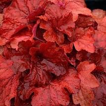 """10 Heuchera """" FIRE ALARM """" - Coral Bells - Live Plant - Alumroot - Perennial - $67.02"""