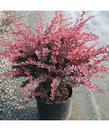 FIVE plants Rosy Glow Barberry - $41.58