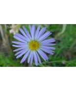 Organic Native Plant, Bog Aster, Oclemena nemoralis  - $3.50