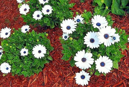 Primary image for SHIPPED FROM US 2000+CAPE African DAISY Flower Drought Tolerant Seeds, CB08