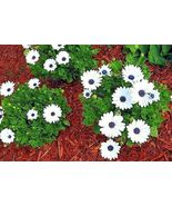 SHIPPED FROM US 2000+CAPE African DAISY Flower Drought Tolerant Seeds, CB08 - $35.00