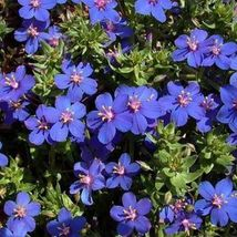 SHIP From US, 25 Seeds Blue Pimpernel, DIY Home Flower AM - $15.99