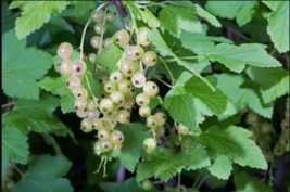 Sweetest Berries - PRIMUS WHITE CURRANT Plants - 1, 5, 10 Plants - $35.85+