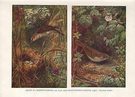 VINTAGE BIRD PRINT ~ MARSH-WARBLER & GRASSHOPPER-WARBLER - $38.51