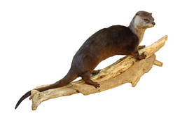 Otter Walking Taxidermy Wall Mounted Animal Statue - $1,155.99
