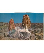 Silversword Plants in Bloom, Haleakala, Island of Maui, Hawaii, unused P... - $3.99