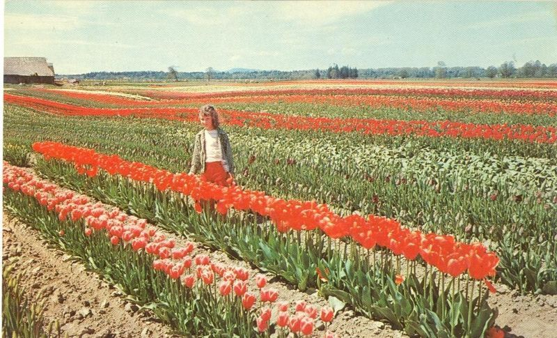 Tulip Fields, Western Washington, unused Postcard