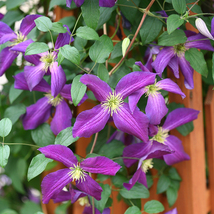 "4"" pot - Happy Jack Purple Clematis - Proven Winners - Live Plant - tkhit - $56.00"
