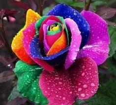 """ 50 seeds the Rarest Bright Rainbow Rose Flower Seeds GIM "" - $11.00"