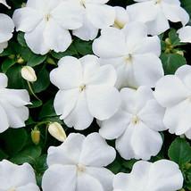 50 Pcs White Impatiens Seeds, Impatiens Seeds, Non-Gmo Heirloom Annual F... - $13.99