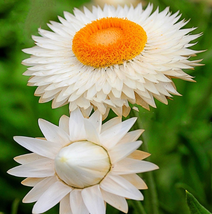 30pcs Very Excellent White Strawflowers Helichrysum bracteatum Seeds IMA1 - $13.99