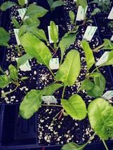 Beets, Sugar beet, Beta vulgaris, 4in Potted Plant, Organic, Heirloom, G... - $6.80