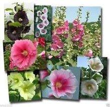 Non GMO Bulk Hollyhock Seeds - Summer Carnival Alcea rosea (10 lbs) - $366.30