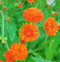 50 Tassel flower Seeds Sowthistle Tasselflower Herb Tassel Blower - $5.09