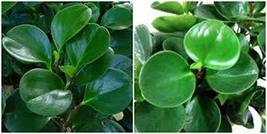 Jade Peperomia Obtusifolia in 4 Inch Pot Baby Rubber Plant Green Peperom... - $4.99