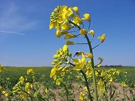360 seeds Wichita Canola Rape Tree Seeds For Planting - $22.77