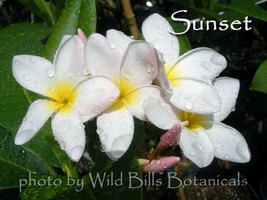 Sunset Rare & Exotic very fragrant Hawaiian Plumeria Frangipani cutting - $10.00