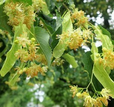 LIVE PLANT Little leaf Linden Tree great yard shade basswood Honey seedl... - $31.99