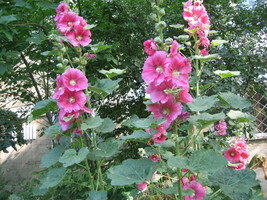 35 Pink Hollyhock Flower Seeds 2019 (Non-Gmo Free Shipping!) - $5.12