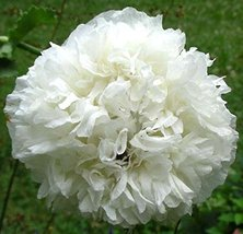 Peony Poppy White Cloud 100 Seeds - $6.93