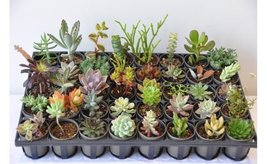 20, 30 or 40 Varieties 2 inch Assorted Exotic Succulent Collection Plant image 2