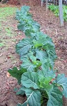 COLLARD GREEN SEED, CHAMPION, HEIRLOOM, NON GMO, ORGANIC, 50 SEEDS, GREENS - $1.98