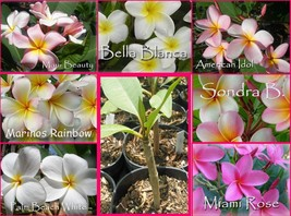 Rare, Fragrant, Colorful and Exotic! ROOTED plant Plumeria Seedling  - $12.95