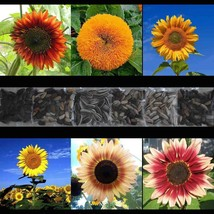 SHIP FROM US SUNFLOWER 200 RARE SEED MIX BEAUTIFUL COMBINED TGV1 - $27.96