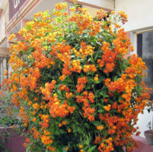 5 Pcs Seeds Mexican Flame Vine Senecio Confusus Flower - DL - $16.00