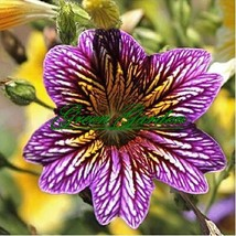 1 original pack mixed color beauty lapel seeds (Salpiglossissinuata) bonsai plan - $7.28